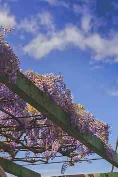 Wisteria by Patricia Hofmeester on Creative Market