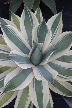 Agave potatorum 'Snowfall' at Walters (Avent); could be the same as 'Blue Winds', 'Eye Scream'