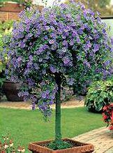 Blue Potato Bush (Solanum rantonnetii)