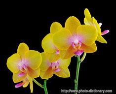 phalaenopsis orchid - Bing Images