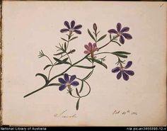 Scavula [picture] / D.E. Paty.Paty, D. E. (Dorothy English), 1805-1836.
