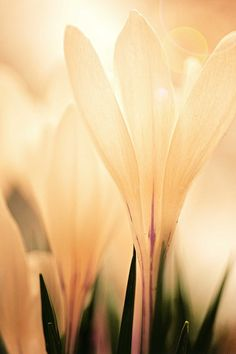 Romantic flower photography, Spring Wedding Pink Flower Print Coral Blush Peach wall art crocus neutral home decor 8x12