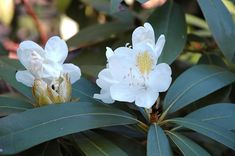 White Catawba Rhododendron (Rhododendron catawbiense 'Album') at Skillins Greenhouse