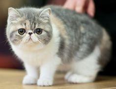 Exotic Shorthair Cat Breeds   Exotic Shorthair Cat Breed Pro Metaphorical Platypus