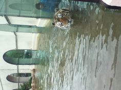 Mike the tiger at LSU swimming in the water.