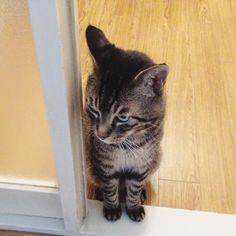 おはムサシ 前脚かわいいGood morning. #musashi #mck #cat #キジトラ #ムサシさん by _daisy