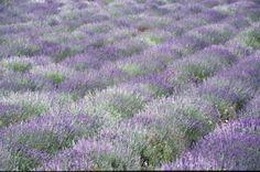 12 nejlepších bylin a rostlin proti negativním energiím Lavender Fields, Provence, Chata, Plants, Wikimedia Commons, Travel, Viajes, Destinations, Plant