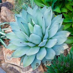 20 Sementes Suculenta Agave Mix Cactos Flor P/ Mudas Planta - R$ 18,90