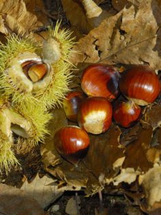 Chestnut (Sweet), also known as Chestnut (Chinese)  one of the new free  grow guides to accompany the fruit and nut tree update available from the growveg.com Garden Planner.