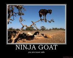 http://www.neeny.com/contents/member/OliviaWilliams/photos/Ninja-Goat-4515a0.jpg