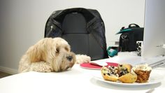 Cruz, the Tibetan Terrier, fancies muffins.