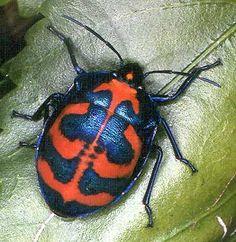 Scutelleridae - Pesquisa Google