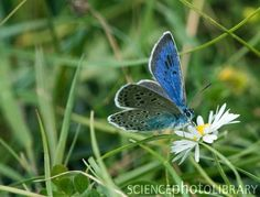 Large Blue Butterfly - Bing Images