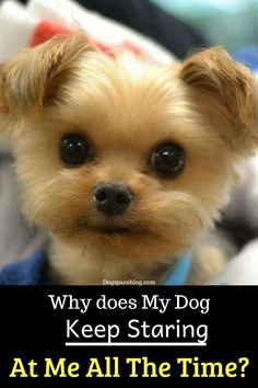 Why Does My Dog Stare at Me: Well, if there is one thing that almost all dogs do well, it is staring at their owners, but why does my dog stare at me? #DogStaresAtMe #WhyMyDogStaresAtMe Tattoos For Dog Lovers, Dog Tattoos, Dog Lover Quotes, Dog Quotes, Dog Lover Gifts, Dog Gifts, Funny Animal Pictures, Funny Animals, Emergency Vet