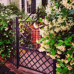 A postcard from #Charleston: the air smells like perfume thanks to vines of jasmine in bloom across the city!