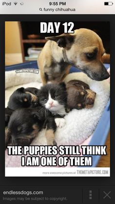 healthy dinner recipes easy with chicken soup from scratch chicken Cute Funny Dogs, Cute Funny Animals, Funny Chihuahua, Animal Memes, Animal Paintings, Dog Pictures, Puppy Love, Easy, Dog Cat