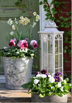 purple pansies, white english daisies, narcissus minnow