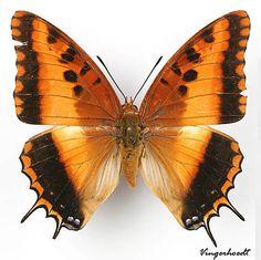 Charaxes druceanus brazza ♀ (recto), Turlin, 1987