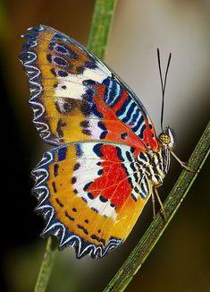 Lacewing Malay (Cethosia hypsea hypsina)