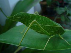 Imprisoned in my Bones: Ivy the Leaf Bug