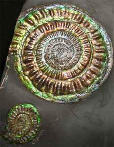 Caloceras johnstoni (Natural irridescent shell)  ageJurassic, Lower Lias, Planorbis Zone  sizeSize of ammonites 80mm & 30mm