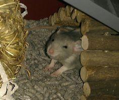 Smiley rat
