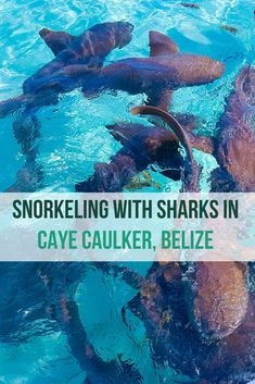Are you dreaming up your next travel adventure? Check out this blog post on why snorkelling with nurse sharks on Caye Caulker island in Belize should be on your list. Save the post on your travel board for inspiration. #islandtravel #belize #adventure #sharks