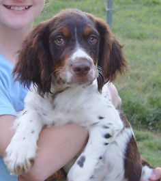 brittany spaniel - Bing Images