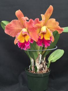 https://flic.kr/p/zSu1Uy | Rhyncholaeliocattleya (Chunyeah 'Moon Beauty' x Judith Lynn Hausermann) Z-22302, CH-19830 | Flower - 5 inches Plant - 16 inches with pot Blooms - Sept/Oct