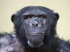 "Do chimps have ""human"" rights? A New York court thinks not - Science News - redOrbit"