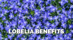 Lobelia Benefits