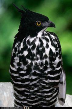 Blyth's Hawk-Eagle (Source: eqiunox)