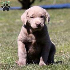 Silver Labrador Retr Photos Of Puppies Pictures Of Dog Breeds Cute Dog Photos Dog Pictures Funny Dog Pho Labrador Retriever Puppies Labrador Retriever Labrador
