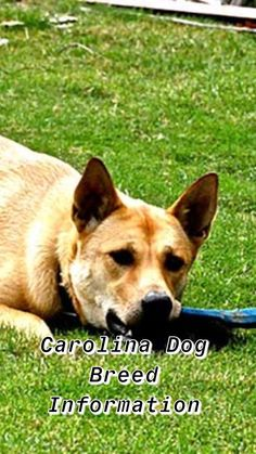 Ultimate Carolina Dog Breed Information - Train Your Own Dogs Rescue Dogs, Animal Rescue, Dingo Dog, Excited Dog, Dog Mixes, Dog List, Dog Facts, Hound Dog, Animals Of The World