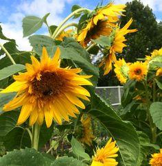 "Martha Stewart Weddings on Instagram: ""The tallest sunflowers we've ever seen on @marthastewart48's estate. |  from our new digital director @jenscress! #livingthemarthalife #marthaweddings"""