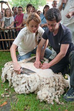 La Xollada d'Auvelles amb Tisora té el seu origen en l'activitat ramadera de la Vall d'Àssua i el Batlliu, que són avui en dia un dels grans escenaris del món ramader pirinenc, amb 12 ramats actius en només 9 pobles. Sort Pallars Sobirà  Catalonia