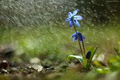 Cebulica Syberyjska, Niebieski, Kwiat, Deszcz