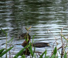 Bird Photos, Birding Sites, Bird Information: BREEDING PIED-BILLED GREBE, BIRD ROOKERY SWAMP, NA...