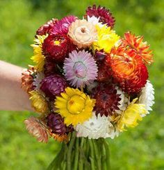 This page gives instructions on how to buy strawflower flower seeds from David's Garden Seeds. Lilac Flowers, Bright Flowers, Dried Flowers, Fall Flowers, Tropical Flowers, Pretty Flowers, Bright Pink, Wedding Flowers, Garden Seeds