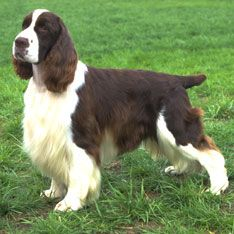 Detailed English Springer Spaniel Information. All you need to know about the English Springer Spaniel. Chiots Springer Spaniel, Springer Spaniel Puppies, English Cocker Spaniel, Spaniel Dog, Spaniels, Spaniel Breeds, Dog Breeds, Englisch Springer Spaniel, Pumi