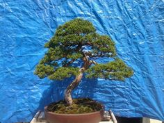 Bonsai abounds: First Artisans Cup competition Sept. 25-27 (photos) | OregonLive.com