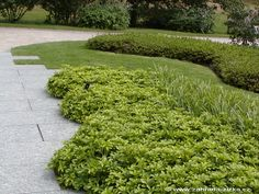 pachysandra green carpet - Поиск в Google