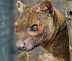 The Fossa is a cat-like, carnivorous mammal that is only found on the island of Madagascar. It is a member of the Eupleridae, a family of carnivores closely related to the mongoose family.