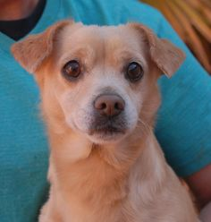 Gordon is a young sweetheart pleading for someone he can count on to love and commit to him for life.  He is an especially endearing Chihuahua mix with cute, front-folding ears, 18 months of age, now neutered and debuting for adoption today at Nevada SPCA (www.nevadaspca.org).  Gordon adores other friendly dogs too.  He needed us when his previous owner reportedly abandoned him with a dog sitter and refused to reclaim him.