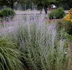 """Easy Care, Low Maintenance Perennials. Russian Sage (Perovskia atriplicifolia)  """"Russian Sage (Perovskia)""""  Zones: 3 - 9  Blooms: Mid-summer to Fall  Colors: Blue Give Russian Sage good drainage and full sun - haze of blue that gets brighter and more vivid as the blossoms open. The plants gets woody stems, but can die back to the ground in colder climates. Pruning down to 8 - 10 inches in early spring encourages new growth and profuse blooms. very few pest problem. Even deer don't like it"""