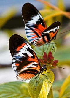 http://pinterest.com/gemmacamps/papallones-mariposas-butterflies/