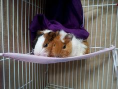 #guineapigs #guineapig #pet #cute