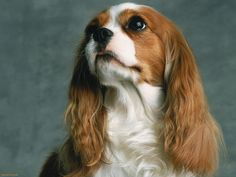 Love Cavalier King Charles Spaniels Source: http://www.animalspedia.com
