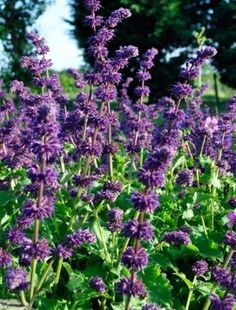 Gently arching spikes of small purple flowers that whorl up the stems cover a mound of large, soft green sage like leaves. Flowers for weeks on end. Salvia Plants, Claire Austin, Small Purple Flowers, Astrantia Major, Arbors Trellis, Green Fence, Cottage Garden Plants, Back Gardens, Water Gardens
