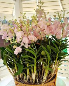 Orchids Garden, Orchid Plants, Exotic Flowers, Beautiful Flowers, Beach Wedding Centerpieces, Plant Projects, Backyard Greenhouse, Growing Orchids, Dendrobium Orchids